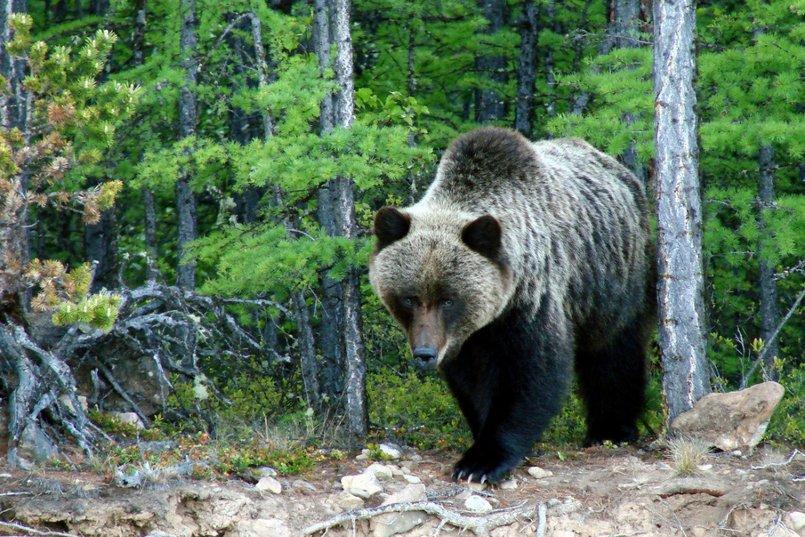 Бурый медведь. Автор фото — С. Шабуров, «Заповедное Прибайкалье»