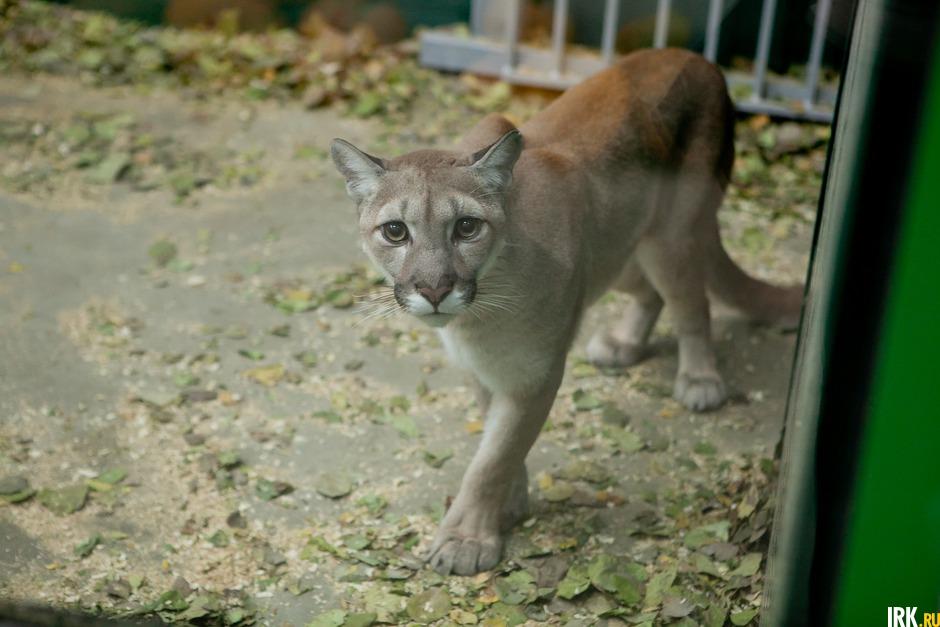 Животных начали перевозить во второй половине августа 2019 года. В новое жилье первыми принято запускать котиков. Для ответственной миссии первопроходца выбрали пуму Гектора.