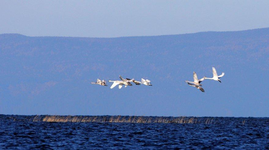 Семьи лебедей-кликунов в дельте Селенги