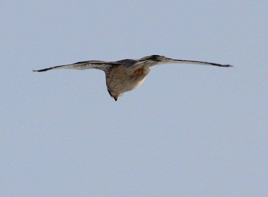 Пустельга зависла, трепещет крыльями и высматривает
