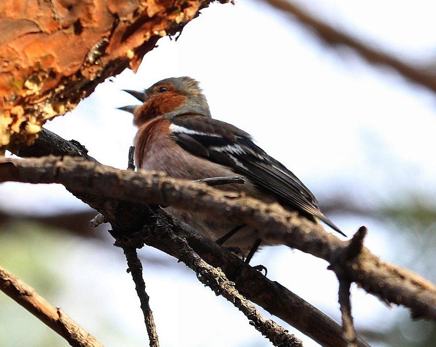 Зяблик у нас «новичок». А вот в Западной Сибири или в Европе – самая обычная парковая птица.