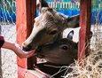 Олень Сигурд недавно сбросил рога. Он тоже любит гостей и с удовольствием общается с ними.