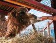 Верблюдица Земфира довольно своенравна. Она может вредничать и не подходить, если ее звать. Но сейчас животное с радостью идет на контакт — оно тоже соскучилось по гостям.