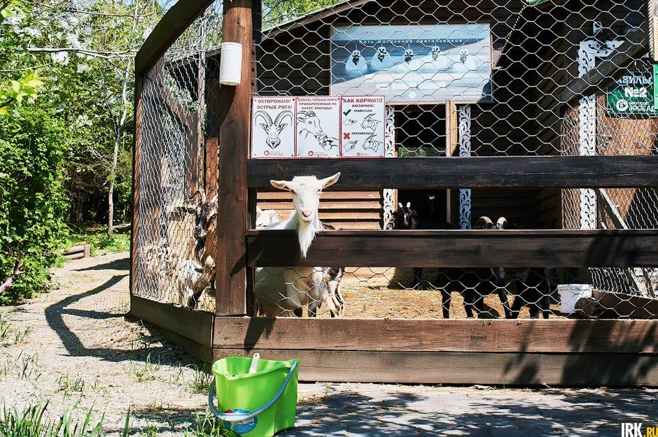 По словам сотрудников зоосада, животные скучают по посетителям. Особенно козы, вольер которых расположен около входных ворот. У них никогда не было недостатка во внимании гостей.
