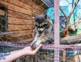 Еноты — любимцы гостей Иркутского зоосада.