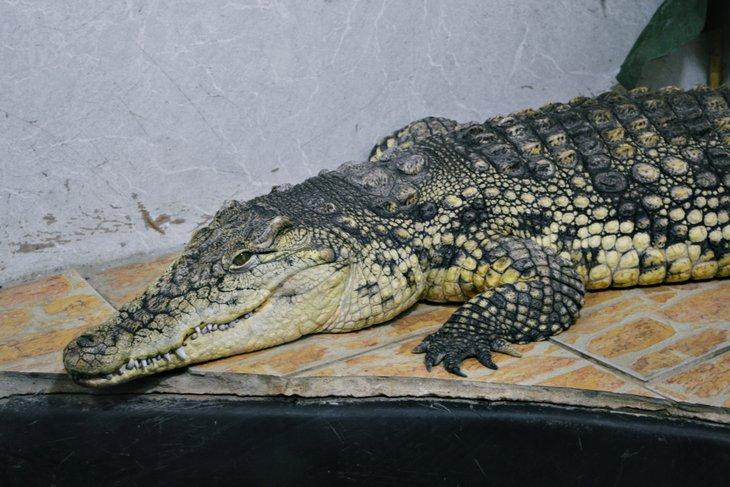 Крокодил. Автор фото — Маргарита Романова