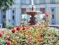 В сквере возле Иркутского академического театра имени Н. П. Охлопкова высадили розы.