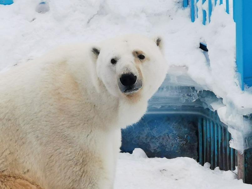 На улице можно посмотреть  белых медведей