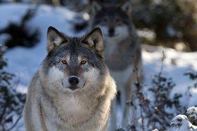 Численность волков в Иркутской области увеличилась на тысячу