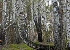 Лес в Академгородке. Фото IRK.ru
