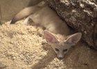 Пустынная лиса в иркутской зоогалерее. Автор фото — Евгения Миллер