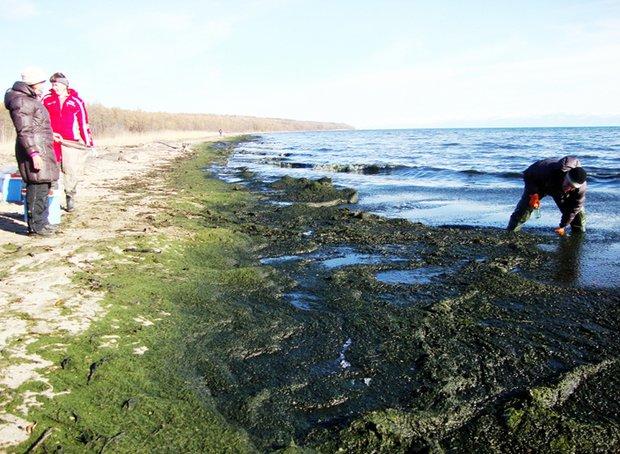 Рабочий момент экспедиции ученых ЛИН — оценка размера и веса береговых скоплений спирогиры