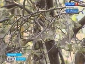 Поврежденное дерево. Фото Вести-Иркутск