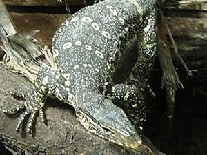 Варан. Фото с сайта ru.wikipedia.org.