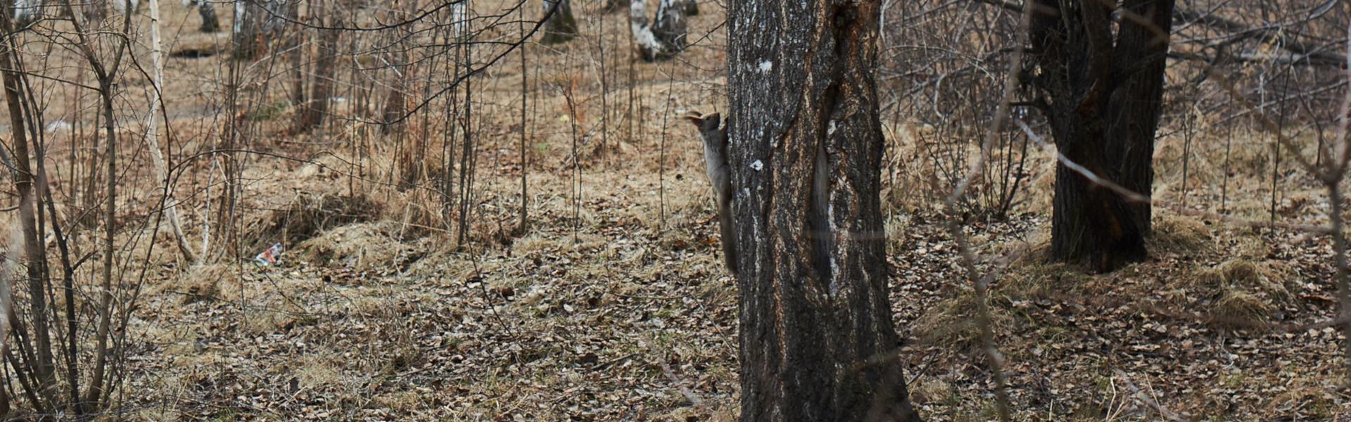 Почему горожане недовольны проектом благоустройства леса в Академгородке