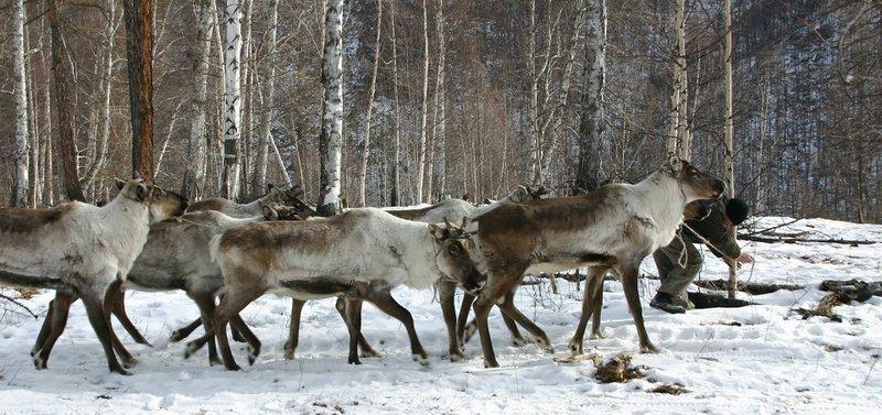 Дорога по замерзшей реке, горы и стада оленей.