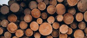 Реликтовые леса «под нож»