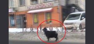 Автохам: козел на дороге