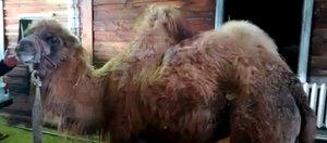«Чайф» в сарае и приключения верблюда Славика