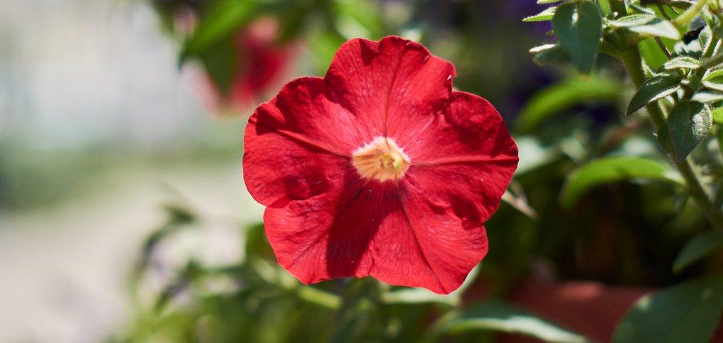 На городские клумбы в 2020 году высадили полмиллиона цветов.