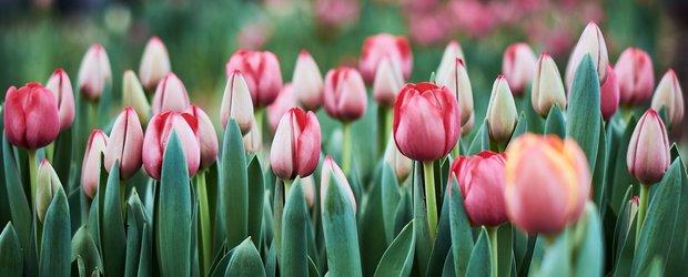 В Иркутске вырастили больше 45 тысяч тюльпанов к 8 Марта
