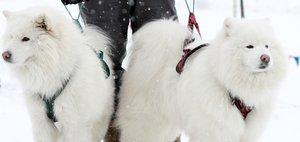 Гонка на собачьих упряжках в Смоленщине