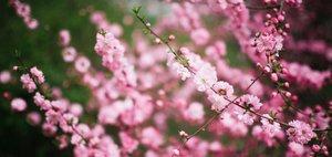 Цветение сакуры в Ботсаду