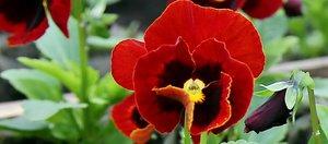 Какие цветы высадят на иркутских клумбах